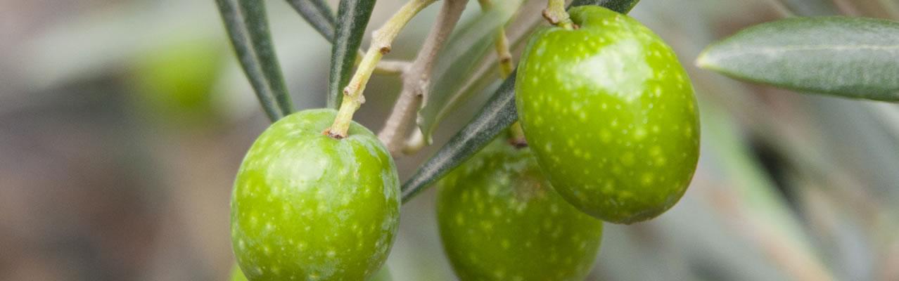 Tendre(テンドレ)オリーブオイル スペイン産 輸入 卸売