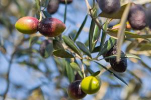 秋のオリーブ スペイン産オリーブオイル